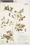 Amphilophium cynanchoides (DC.) L. G. Lohmann, ARGENTINA, P. R. Legname 10.379, F