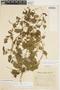 Amphilophium cynanchoides (DC.) L. G. Lohmann, ARGENTINA, J. Morel, F