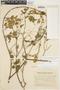 Amphilophium cynanchoides (DC.) L. G. Lohmann, ARGENTINA, T. Harrola 3473, F