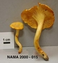 North American Mycological Association Foray : specimen # NAMA 2000-015