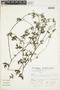Bowlesia palmata Ruíz & Pav., Peru, S. Llatas Quiroz 2060, F
