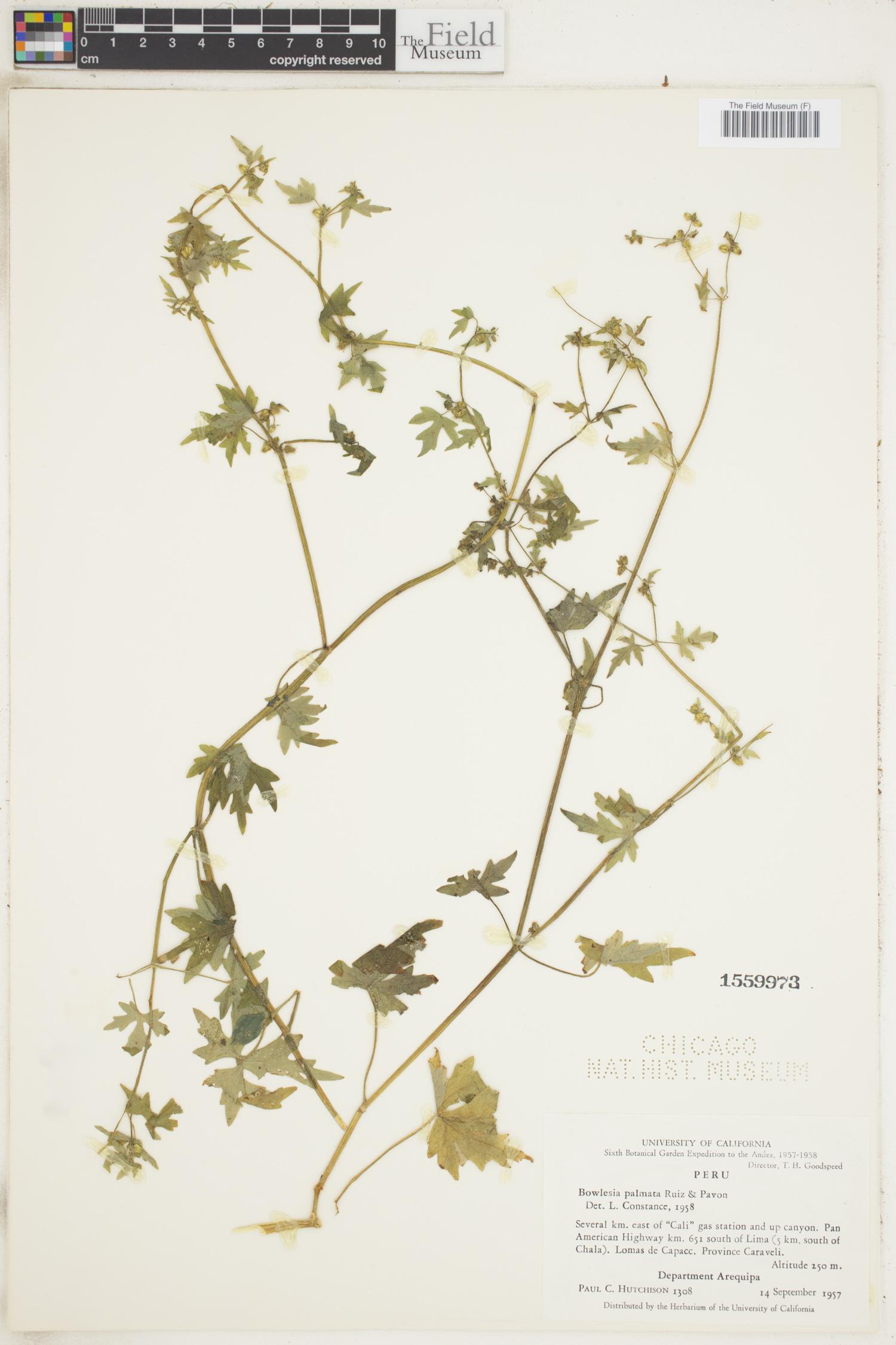 Bowlesia palmata image