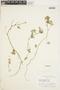 Bowlesia palmata Ruíz & Pav., Peru, P. C. Hutchison 1359, F