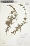 Salvia grisea Epling & Mathias, Peru, A. Sagástegui A. 16691, F
