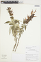 Salvia lanicaulis Epling & Játiva, Peru, I. M. Sánchez Vega 10529, F