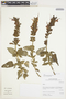 Salvia lanicaulis Epling & Játiva, Peru, I. M. Sánchez Vega 10752, F