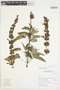 Salvia lanicaulis Epling & Játiva, Peru, I. M. Sánchez Vega 10502, F