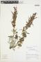 Salvia lanicaulis Epling & Játiva, Peru, I. M. Sánchez Vega 10591, F