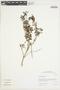 Salvia styphelus Epling, Peru, I. M. Sánchez Vega 10375, F
