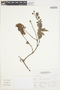 Salvia L., Peru, A. Sagástegui A. 16736, F