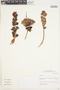 Echeveria eurychlamys (Diels) Berger, Peru, I. M. Sánchez Vega 10312, F