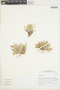 Agrostis breviculmis image