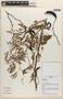 Acacia farnesiana image