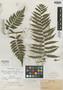Alsophila gracilis Underw. & Maxon, Cuba, C. L. Pollard 255, Isotype, F