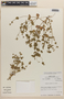 Drymaria rotundifolia image