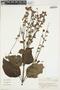 Salvia pauciserrata subsp. lasiocalicina (Briq.) J. R. I. Wood & Harley, Colombia, J. Cuatrecasas 26232, F