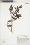 Myrcianthes rhopaloides (Kunth) McVaugh, ECUADOR, J. Altamirano 155, F