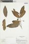 Psidium guajava L., ECUADOR, L. P. Kvist 40404, F