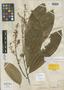 Matayba grandis Radlk., BRITISH GUIANA [Guyana], H. W. Schott 678, Isosyntype, F