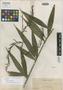 Calamus viridissimus Becc., PHILIPPINES, A. D. E. Elmer 11938, Isotype, F