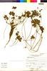 Flora of the Lomas Formations: Geranium limae R. Knuth, Peru, A. Sagástegui A. 12958, F