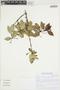 Myrcianthes rhopaloides (Kunth) McVaugh, ECUADOR, Á. J. Pérez 6214, F