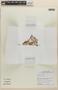 Bacopa monnieri (L.) Wettst., Peru, M. O. Dillon 8856, F