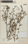Aeschynomene americana var. glandulosa (Poir. & Lam.) Rudd, Colombia, J. Cuatrecasas 26102, F