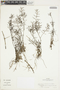 Hygrophila tyttha Leonard, Colombia, J. Cuatrecasas 27451, F