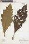 Aphelandra phobera Leonard, Colombia, J. Cuatrecasas 26838, F