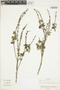 Salvia bogotensis Benth., Colombia, J. Cuatrecasas 26671, F
