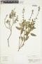 Salvia bogotensis Benth., Colombia, J. Cuatrecasas 26711, F