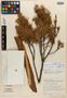 Juniperus saltillensis image