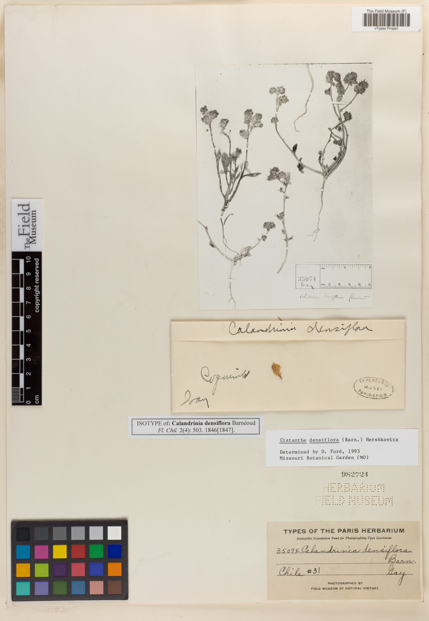 Calandrinia densiflora image