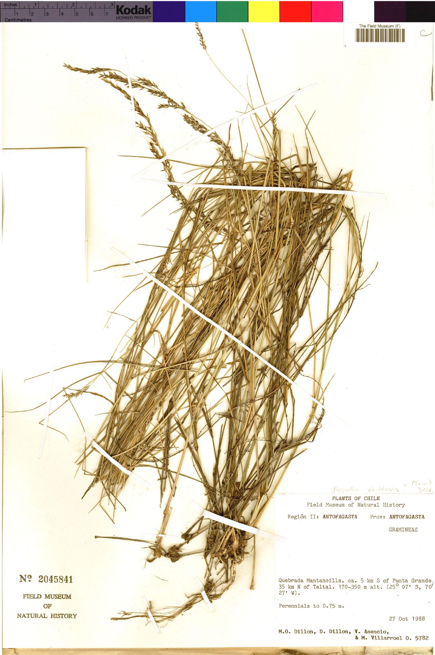 Nassella chilensis image