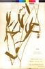 Paspalum racemosum image