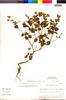Flora of the Lomas Formations: Salvia rhombifolia Ruíz & Pav., Peru, M. O. Dillon 3627, F