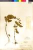 Flora of the Lomas Formations: Salvia rhombifolia Ruíz & Pav., Peru, O. Tovar 14788, F