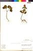 Flora of the Lomas Formations: Salvia rhombifolia Ruíz & Pav., Chile, M. O. Dillon 5867, F