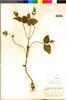 Flora of the Lomas Formations: Salvia rhombifolia Ruíz & Pav., Peru, C. A. W. Sandeman 4337, F