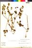 Flora of the Lomas Formations: Salvia rhombifolia Ruíz & Pav., Peru, L. Bernardi 16908, F