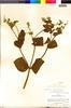 Flora of the Lomas Formations: Salvia rhombifolia Ruíz & Pav., Peru, P. C. Hutchison 1300, F