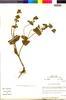 Flora of the Lomas Formations: Salvia rhombifolia Ruíz & Pav., Peru, M. O. Dillon 4705, F