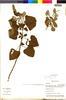 Flora of the Lomas Formations: Salvia tubiflora Ruíz & Pav., Peru, M. Weigend 908, F
