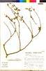Flora of the Lomas Formations: Salvia tubiflora Ruíz & Pav., Peru, S. Llatas Quiroz 3045, F