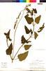 Flora of the Lomas Formations: Salvia tubiflora Ruíz & Pav., Peru, M. O. Dillon 3045, F