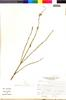 Flora of the Lomas Formations: Salvia tubiflora Ruíz & Pav., Peru, J. Mostacero León 1481, F
