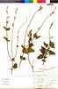 Flora of the Lomas Formations: Salvia tubiflora Ruíz & Pav., Peru, A. Sag?stegui A. 12946, F