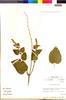 Flora of the Lomas Formations: Salvia tubiflora Ruíz & Pav., Peru, M. O. Dillon 4668, F
