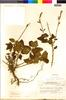 Flora of the Lomas Formations: Salvia tubiflora Ruíz & Pav., Peru, C. R. Worth 15667, F